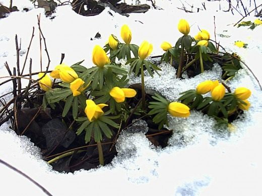 Эрантис зимующий, или зимний (Eranthis hyemalis)
