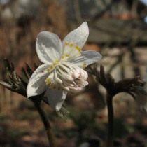 Эрантис звездчатый (Eranthis stellata)