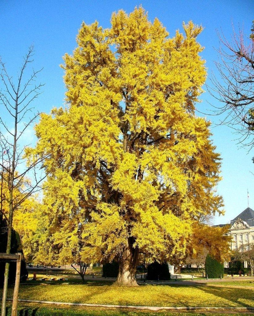 дерево гинкго билоба фото