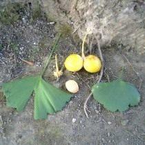 Листья, плоды и семечко гинкго двулопастного