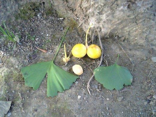 Гинкго двулопастный, листья - плоды - семечко