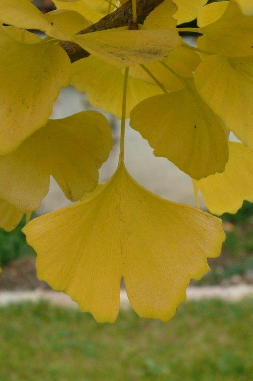 Листья Гинкго двулопастный