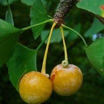 Созревший плод гинкго двулопастного