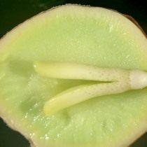Плод гинкго в разрезе