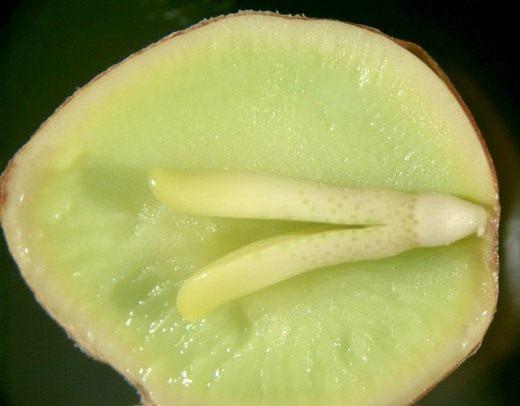 Плод Гинкго двулопастный в разрезе