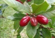 Африканская чудо-ягода