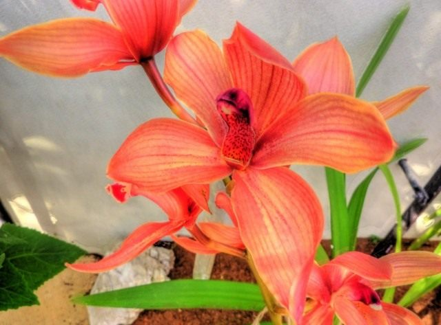 Орхидея Цимбидиум (Orchid Cymbidium)