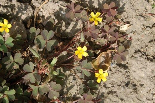 Кислица рожковая, или кислица рогатая (Oxalis corniculata)