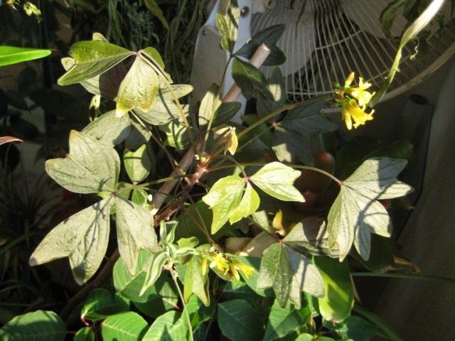 Кислица Ортгиса (Oxalis ortgiesii)