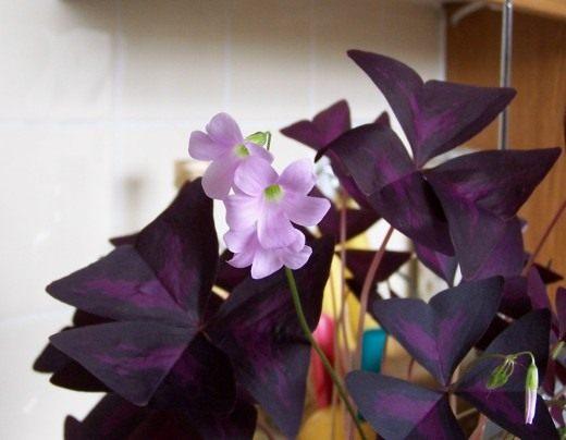 http://www.botanichka.ru/wp-content/uploads/2010/12/Oxalis2-520x404.jpg