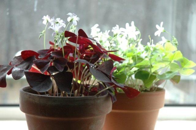 Оксалис, или кислица с красными и зелёными листьями