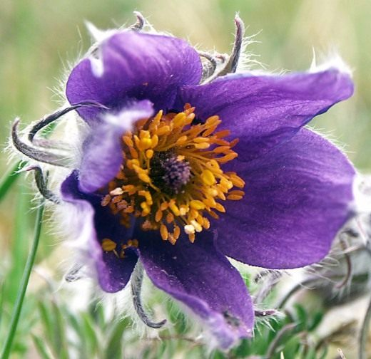 Прострел (Pasque flower)