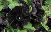 Ботаники вывели сорт черных цветов