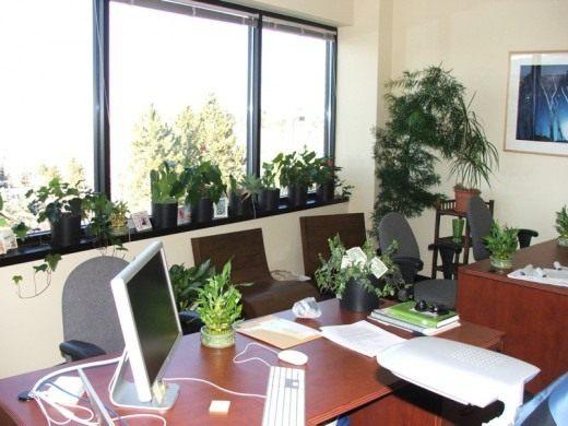 Растения для вашего рабочего стола в офисе. Какие? От чего избавят? Что дадут?