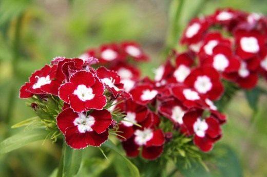 Турецкая гвоздика (Dianthus barbatus)