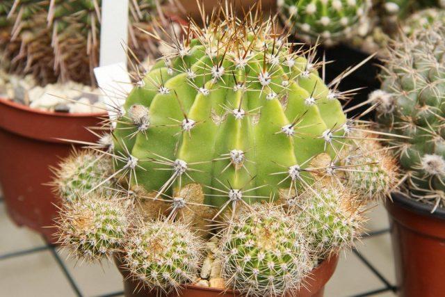 Кактус (Cactaceae)