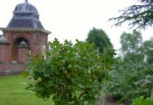 Выращивание крыжовника и красной смородины на штамбе