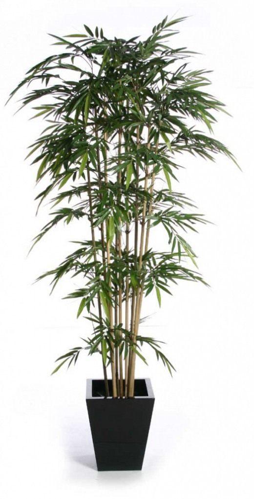 Декоративный бамбук в домашних условиях уход Flowery-Blog 42