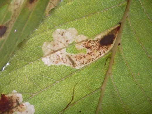 Гусеница минирующей моли в двухсторонней пятновидной мине (Cameraria ohridella)