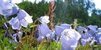 Колокольчик ложечницелистный (Campanula cochleariifolia)