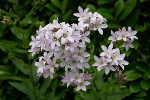 Колокольчик молочноцветковый (Campanula lactiflora)
