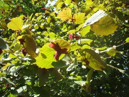 Зелёные плоды лещины крупной