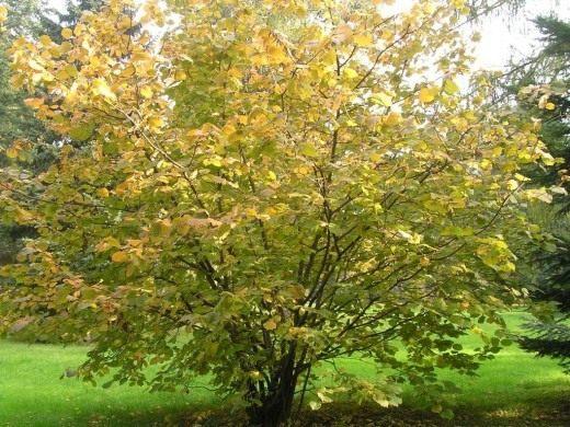 Лещина крупная, или «ломбардский орех» (Corylus maxima), плоды известны под названием фундук.