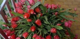 кактусы уход в домашних условиях фото опунция