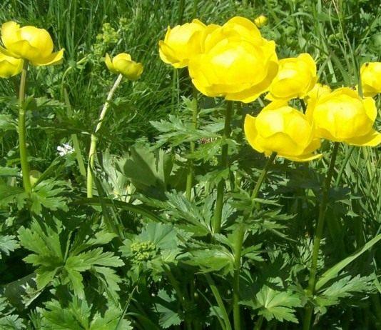 Купальница — любимый цветок троллей
