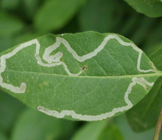 Жимолость пораженная листовым минёром