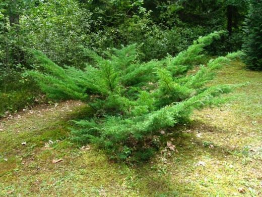 Можжевельник (Juniperus)