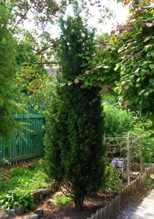 Можжевельник обыкновенный, или Верес (Juníperus commúnis)