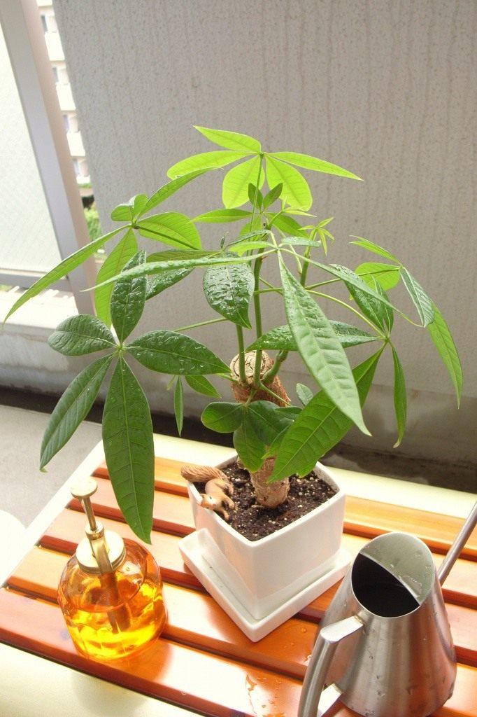 Выращивание пахиры в домашних условиях 41