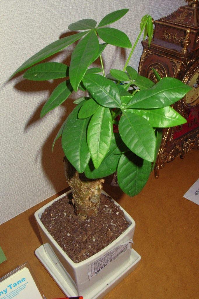 Выращивание пахиры в домашних условиях 7