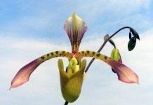 Орхидеи – Пафиопедилюмы