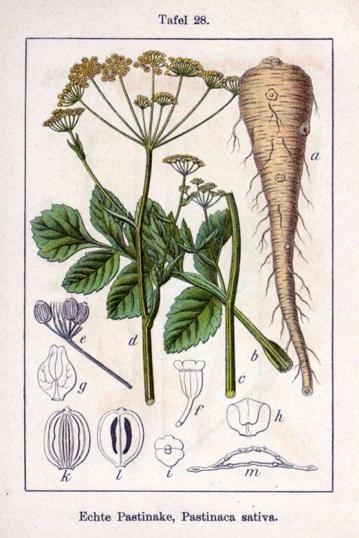 Ботаническая иллюстрация Якоба Штурма из книги «Deutschlands Flora in Abbildungen», 1796