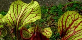 Гибрид Sarracenia oreophila x Sarracenia moorei