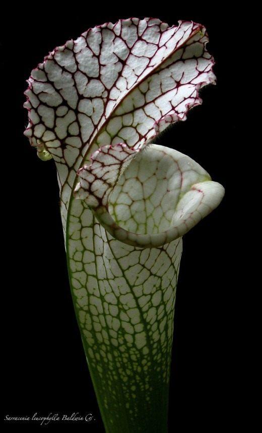 Саррацения пепельнолистная (Sarracenia leucophilla)