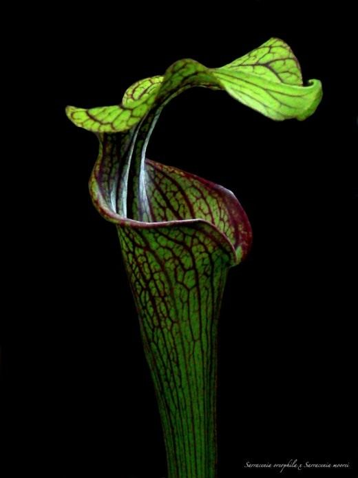 Саррацения, гибрид Sarracenia oreophila x Sarracenia moorei