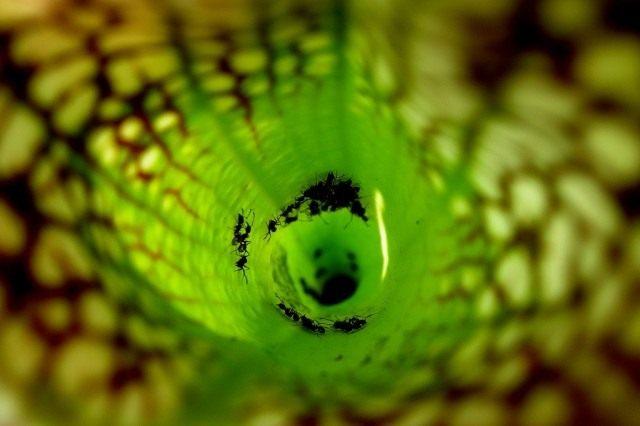 Муравьи внутри Саррацении пепельнолистной (Sarracenia leucophilla)