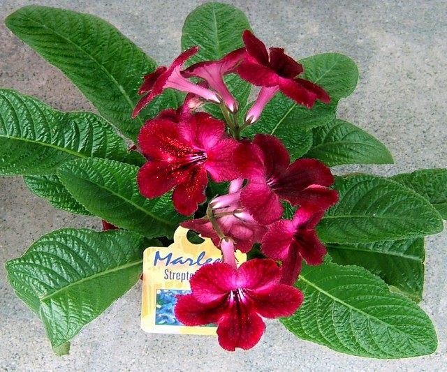 Стрептокарпус (Streptocarpus)