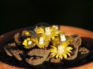 Титанопсис (Titanopsis)