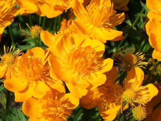 Любимый цветок троллей.