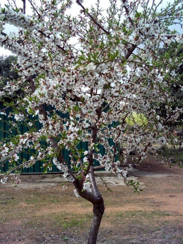 Миндальное дерево (Prunus dulcis)