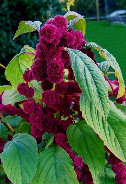 Амарант хвостатый (лат. Amaranthus caudatus)