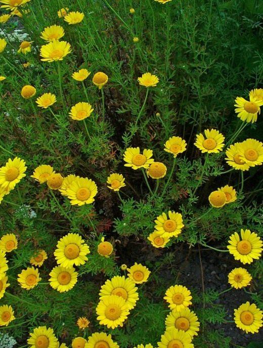 Пупавка красильная, или Пупавка желтоцветная, или Антемис красильный (Anthemis tinctoria)