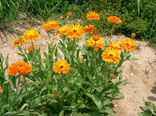 Ноготки лекарственные, или календула лекарственная (Calendula officinalis)