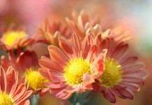 О сортах хризантемы корейской