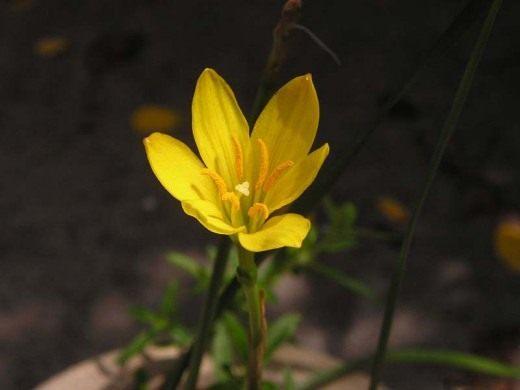 Зефирантес (Zephyranthes)