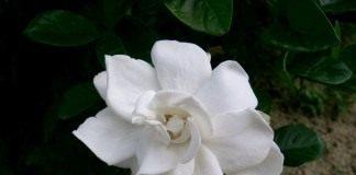 Гардения (Gardenia)